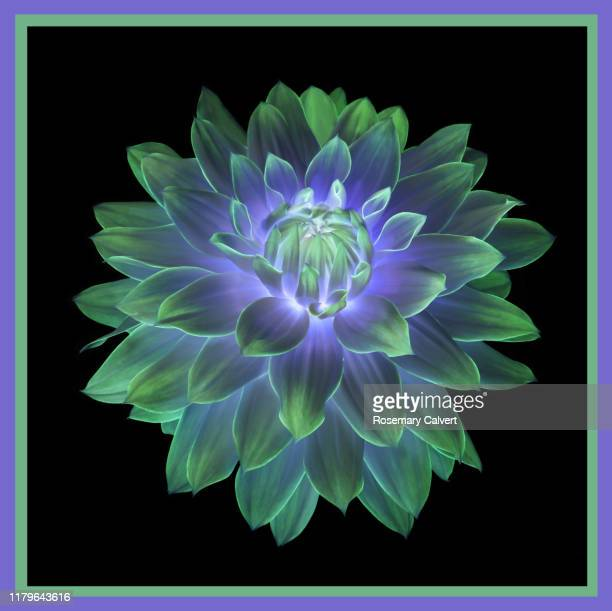 green & purple dahlia flower digitally manipulated, on black. - image manipulation stock pictures, royalty-free photos & images