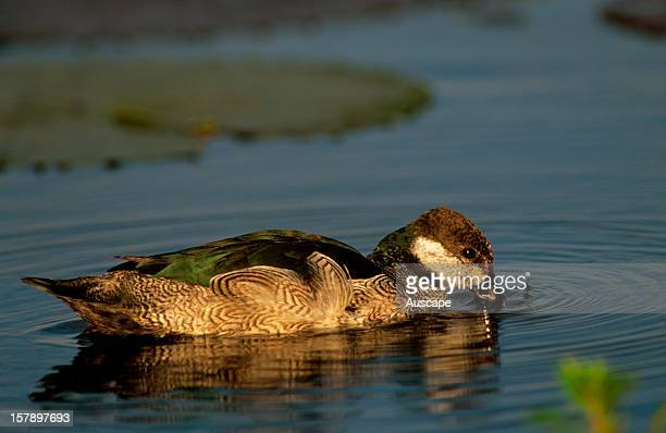 Green pygmygoose male on water A perching duck Gulf of Carpentaria Queensland Australia