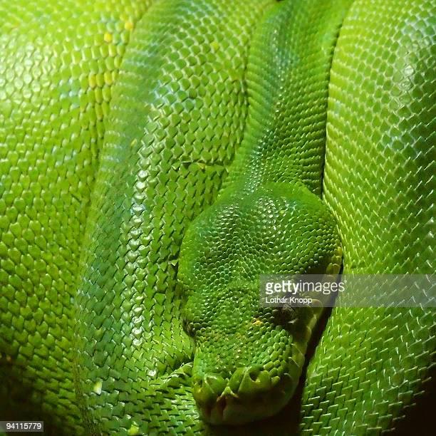 Green Python snake Morelia Viridis