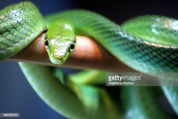 green ratsnake - rat snake stock photos and pictures