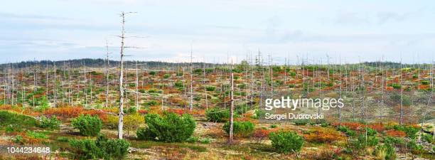green red yellow grass bush in autumn tundra, blue cloudy sky - tundra stock pictures, royalty-free photos & images