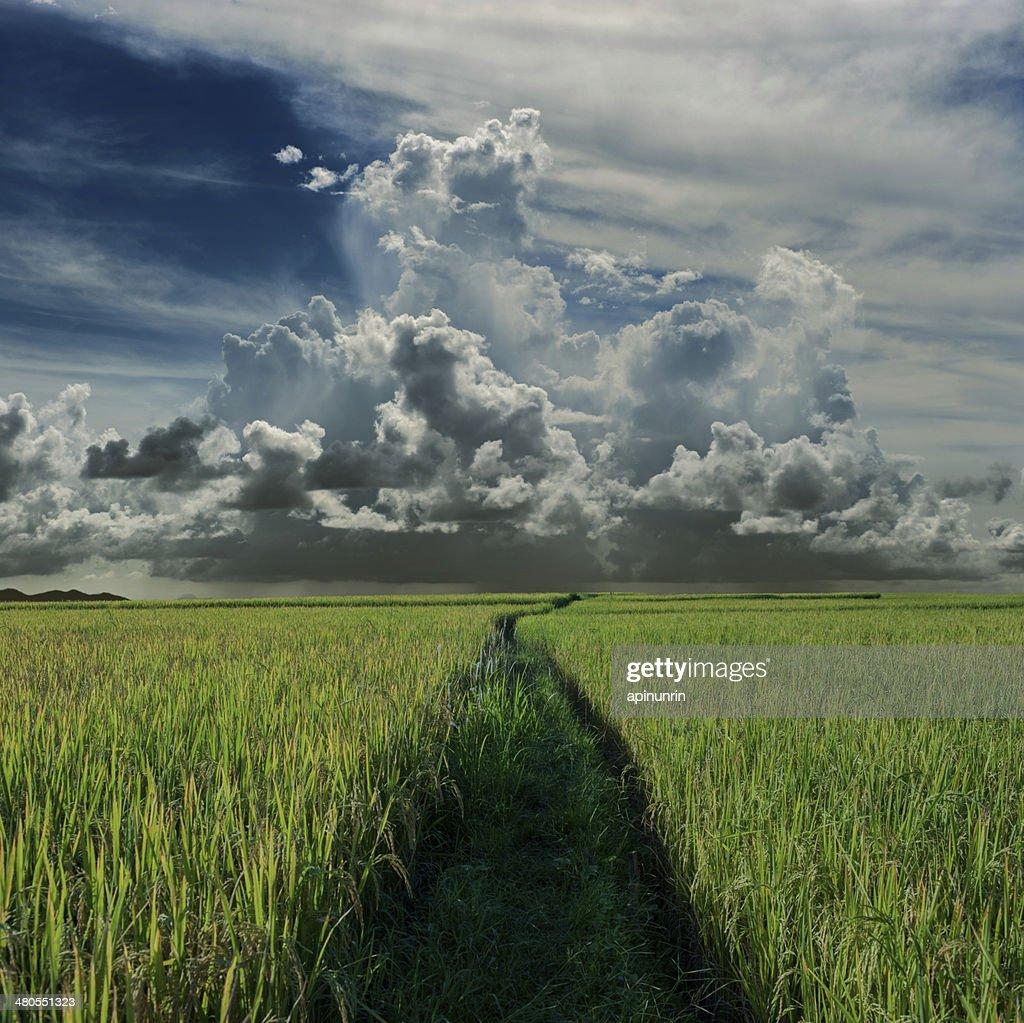Arroz campo verde y rainclouds : Foto de stock