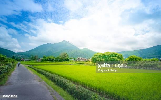 green rice field in rural of yufuin, oita, japan. - 大分県 ストックフォトと画像
