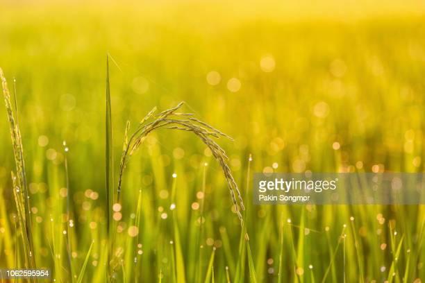 green rice field in thailand - カンチャナブリ県 ストックフォトと画像