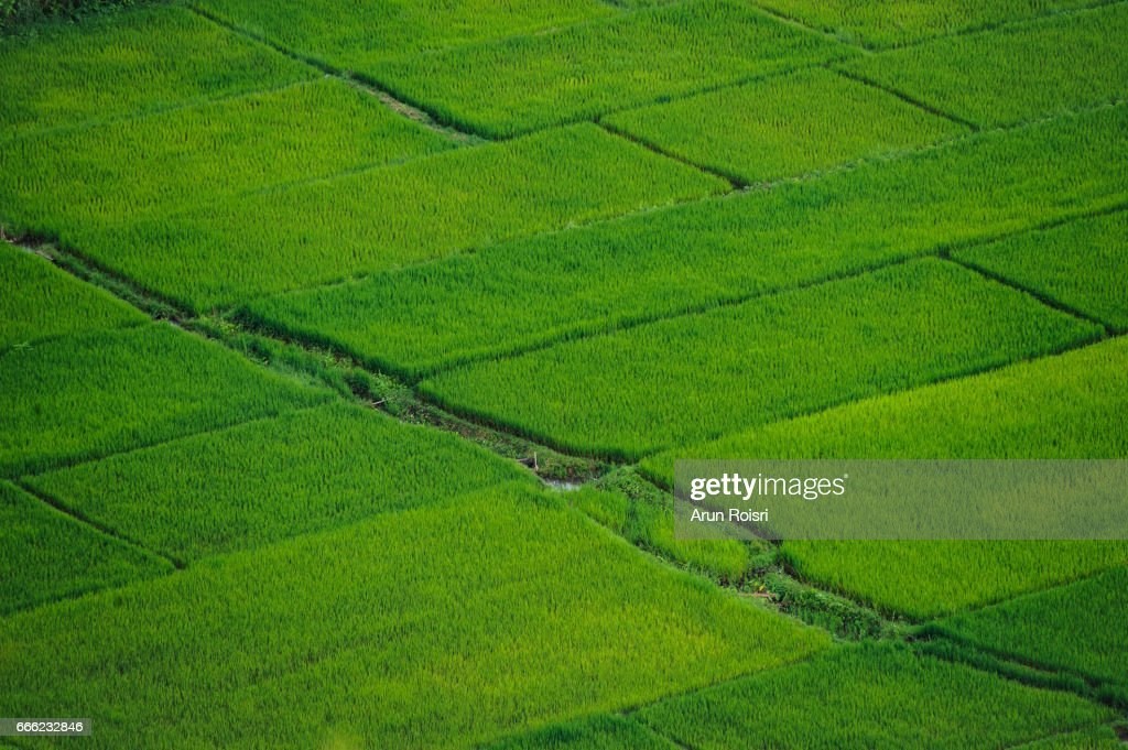 Green rice field in Thailand : Stock-Foto