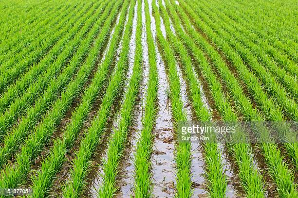 green rice field - sungjin kim stock pictures, royalty-free photos & images