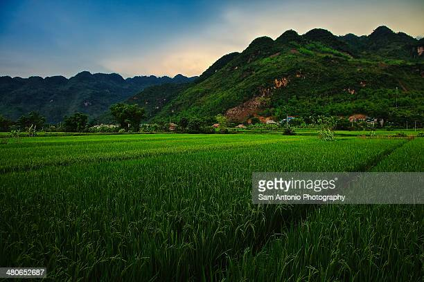 green rice fields in mai chau valley, vietnam - mai chau stock pictures, royalty-free photos & images