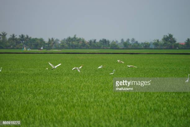 green rice fields in sungai besar - well known as one of the major rice supplier in malaysia - shaifulzamri stock-fotos und bilder