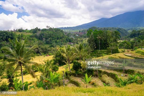 green rice fields on bali island near ubud, indonesia. - shaifulzamri 個照片及圖片檔