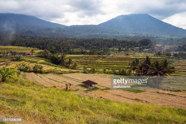 green rice fields on bali island near ubud, indonesia. - shaifulzamri stock pictures, royalty-free photos & images