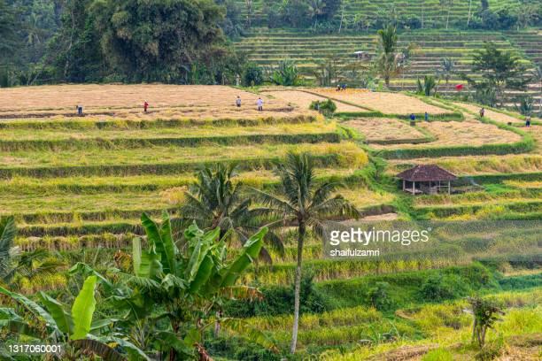 green rice fields on bali island near ubud, indonesia - shaifulzamri 個照片及圖片檔