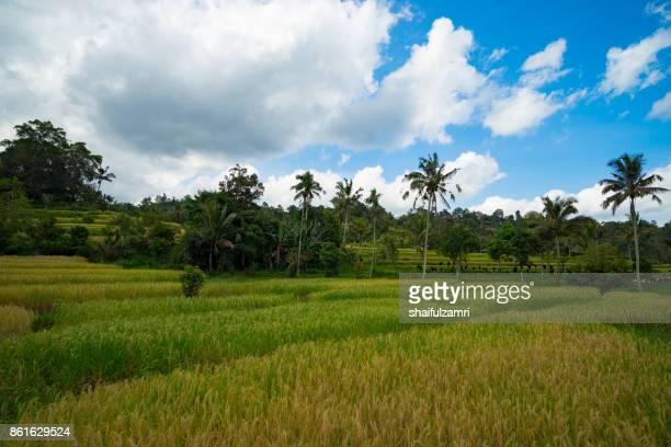 green rice fields on bali island near ubud, indonesia. - shaifulzamri bildbanksfoton och bilder