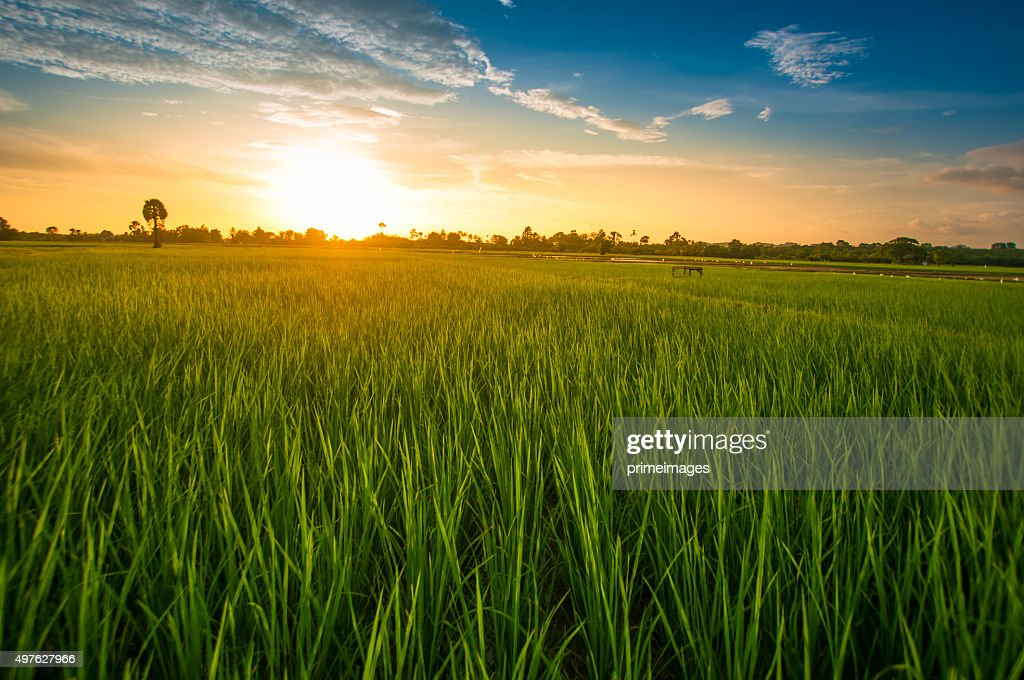Green rice fild with evening sky : Stockfoto