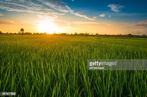 green rice fild with evening sky - paddy field stock pictures, royalty-free photos & images