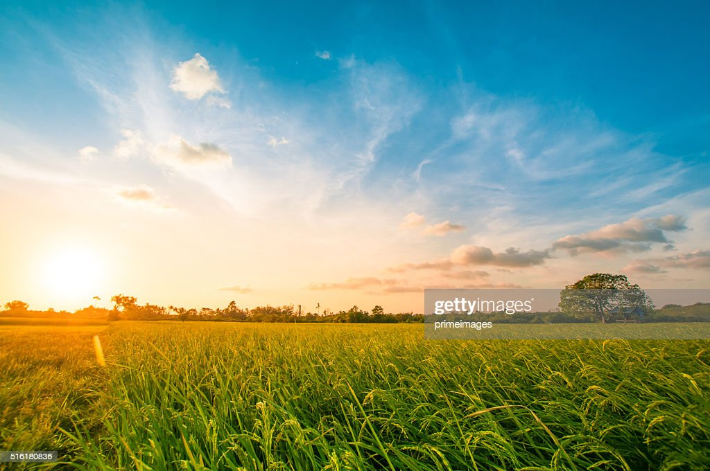 Green rice fild with evening sky : Stock Photo