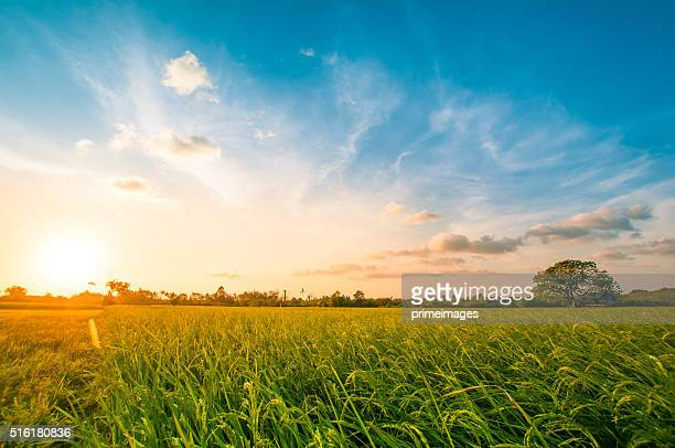 green rice fild with evening sky - suns stock photos and pictures
