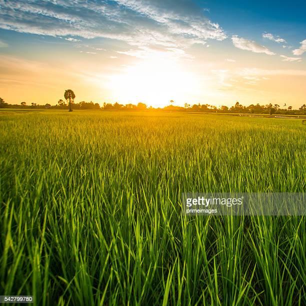 Riso fild verde con cielo notturno