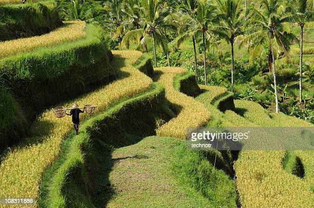 green rice terraces at bali - paddy field stock pictures, royalty-free photos & images