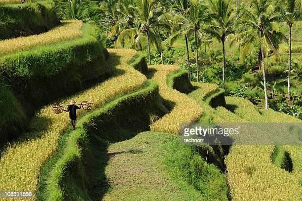 grüne reisfelder auf bali - reisterrasse stock-fotos und bilder