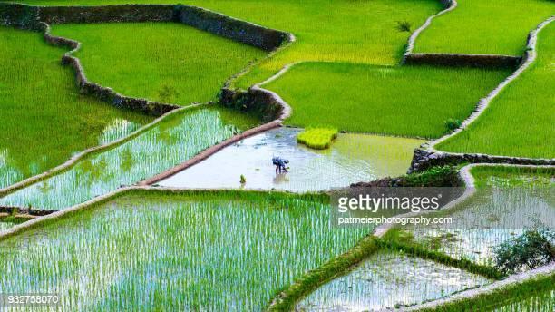 green rice terraces of batad with working woman - rice terrace stockfoto's en -beelden