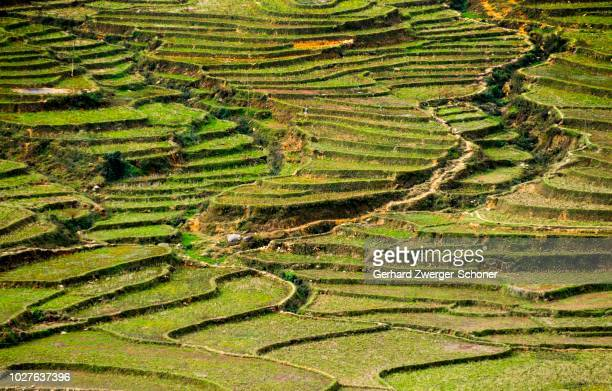 green rice terraces, rice paddies in sapa or sa pa, lao cai province, northern vietnam, vietnam, southeast asia - sa pa stock photos and pictures