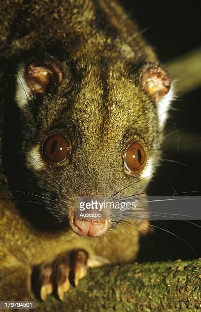Green ringtail possum Pseudochirops archeri close portrait Wongabel State Forest Atherton Tableland North Queensland Australia
