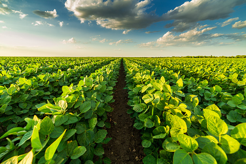 Green ripening soybean field, agricultural landscape 975806766