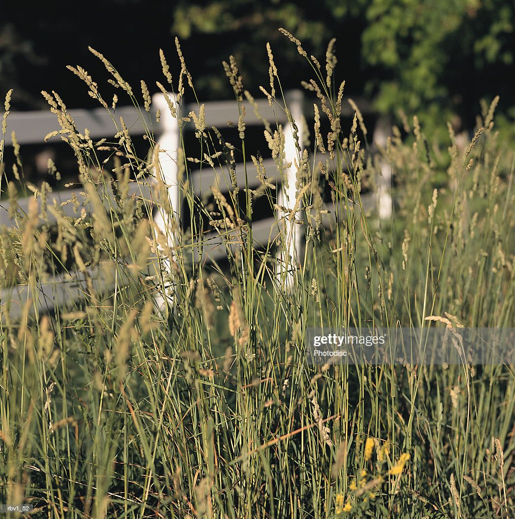 green roadside wheat blows in the wind rising in front of a white fence green trees rise behind all : Foto de stock