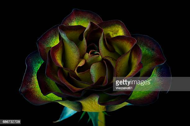 Green rose in front of black background