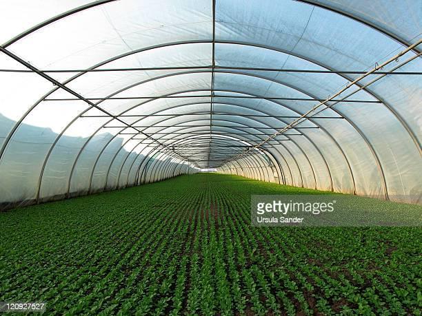 green rows in greenhouse planted for health - gewächshäuser stock-fotos und bilder