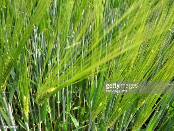 Green rye field in the wind
