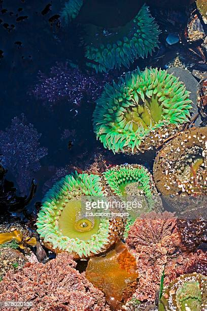 Green sea anemones Anthopleura xanthogrammica species in a tide pool along the central Oregon coast