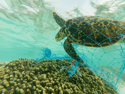 Green sea turtle and discarded fishing net 900317498