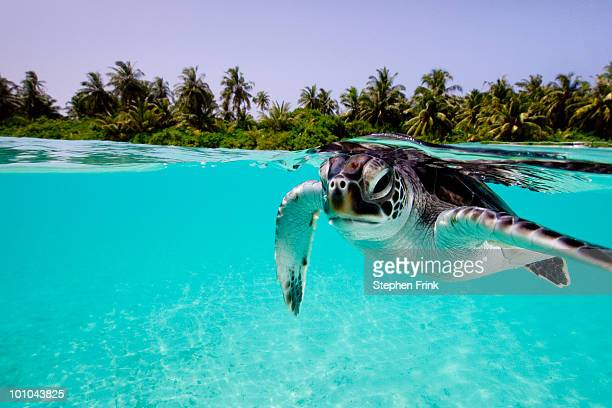 green sea turtle (chelonia mydas) and human - maldives stock pictures, royalty-free photos & images
