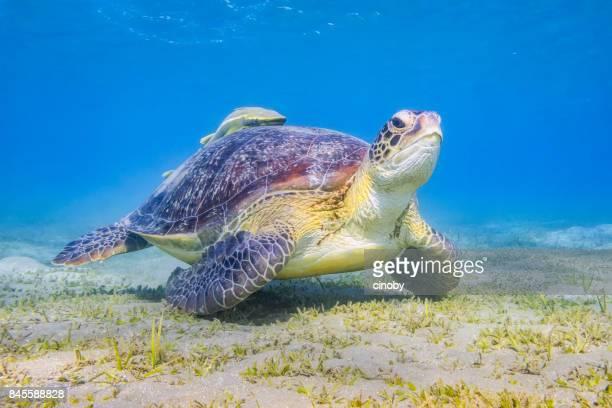 アオウミガメや紅海の海草藻場における放牧コバンザメ魚/マルサ ・ アラム