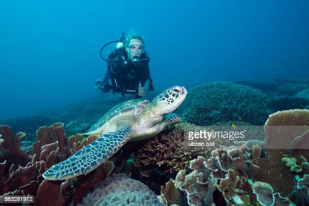 Green Sea Turtle and Scuba diver Chelonia mydas Komodo National Park Indonesia