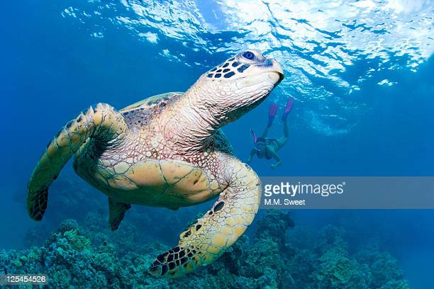 Green sea turtle and snorkeler