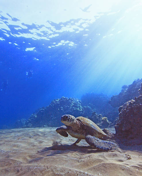 Green sea turtle by reef