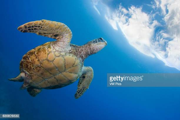 A green sea turtle Chelonia mydas an endangered species heads to the surface for a breath Hawaii