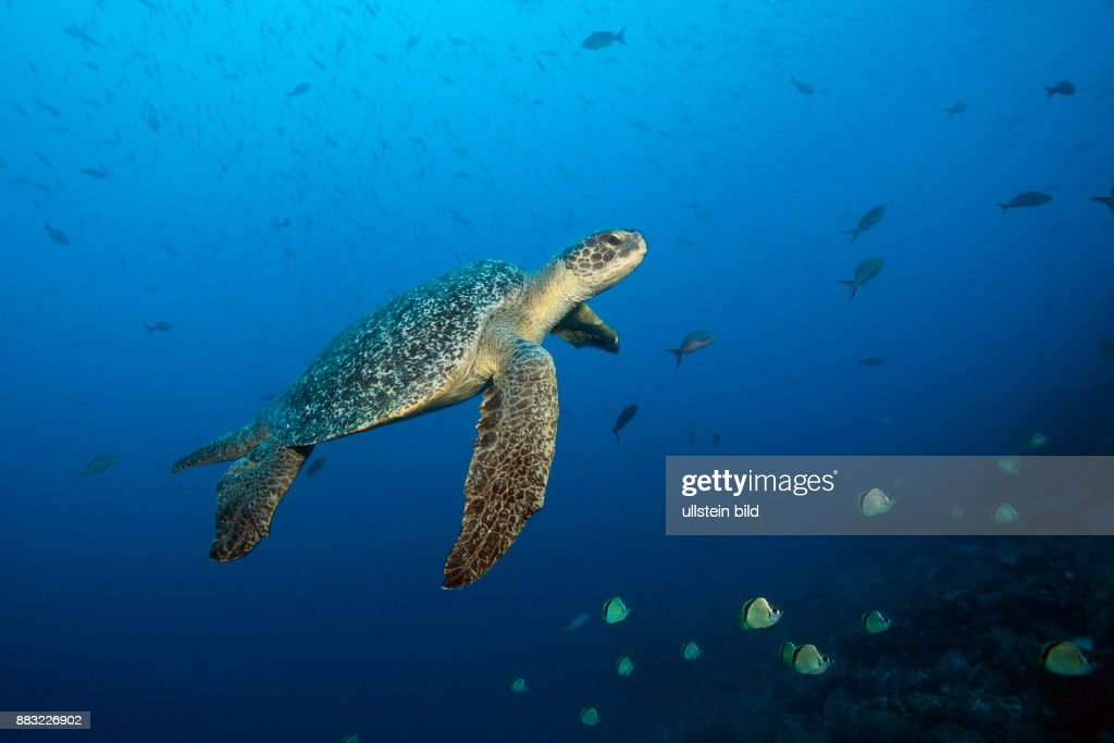 Green Sea Turtle, Chelonia mydas, Arch, Darwin Island, Galapagos, Ecuador : News Photo