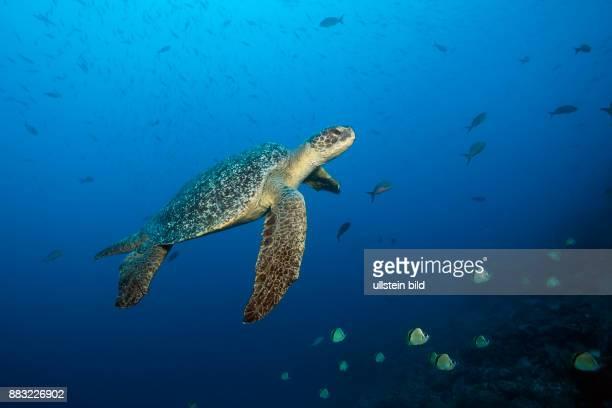 Green Sea Turtle Chelonia mydas Arch Darwin Island Galapagos Ecuador