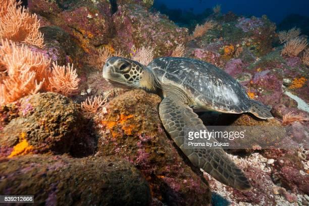 Green Sea Turtle Chelonia mydas Arch Galapagos Darwin Island Ecuador