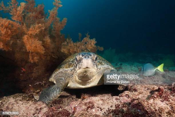 Green Sea Turtle Chelonia mydas Cousins Rock Galapagos Santiago Island Ecuador