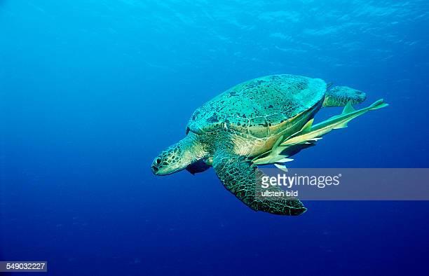 Green Sea Turtle Chelonia mydas Egypt Africa Marsa Alam Red Sea