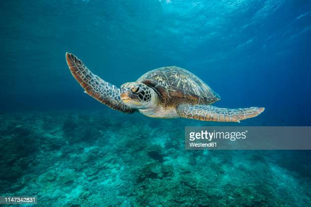green sea turtle, chelonia mydas - green turtle stock pictures, royalty-free photos & images