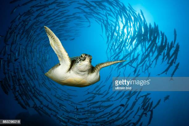 Green Sea Turtle Chelonia mydas Red Sea Ras Mohammed Egypt