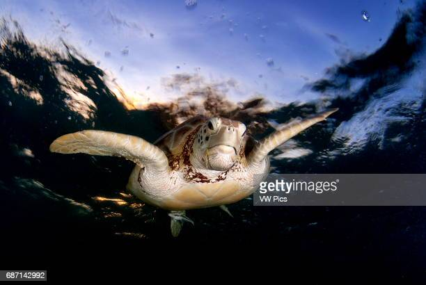 Green sea turtle Chelonia mydas swimming to the surface to take a breath in Akumal bay Mexico