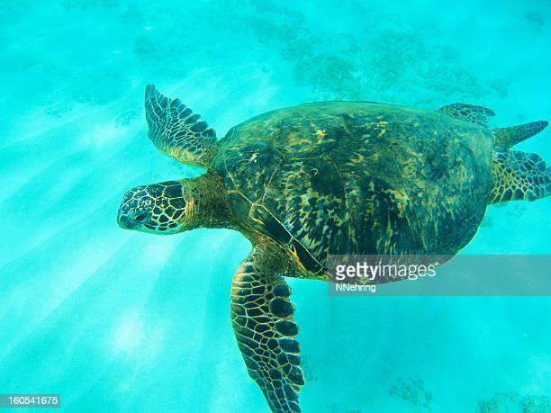 tartaruga marinha verde, chelonia mydas, debaixo d'água - haleiwa - fotografias e filmes do acervo