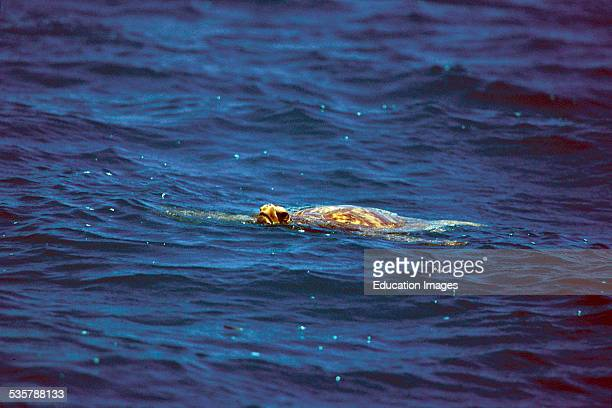 Green sea turtle, Chelonia Mydos, in sea northwest of the Hawaiian archipelago. Today, there are only about 200,000 worldwide. Each year between...