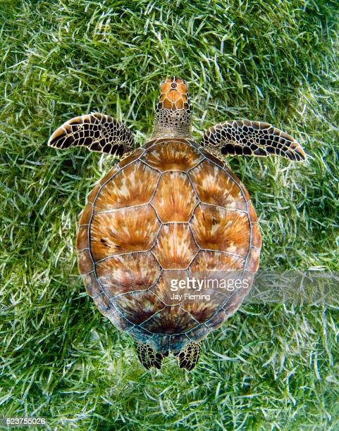 green sea turtle from above - green turtle stock pictures, royalty-free photos & images
